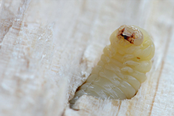 how to know if woodworm is active